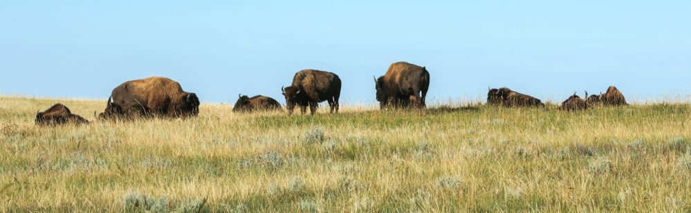 Bison Grazing on North Dakota Prairie