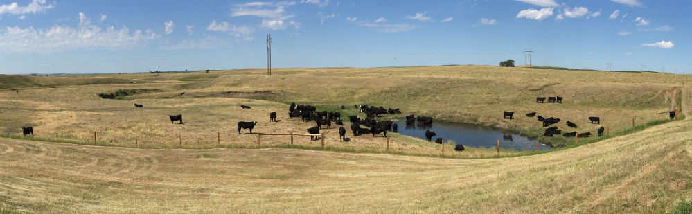 Black Angus Cattle Near Watering Hole