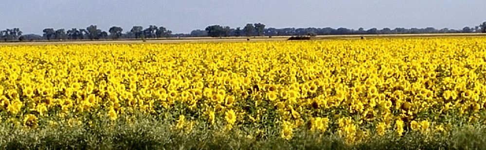 Dense Field of Yellow Sunflowers in North Dakota